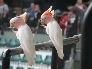 Galahs waiting to perform at the Crocoseum Show, Australian Zoo. Avoid being a laughing stock as I was and pronounce Galah with the emphasis on the last syllable.