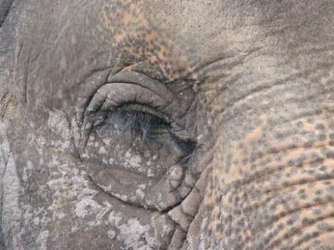 Asian Elephant: mottled and waiting to be fed
