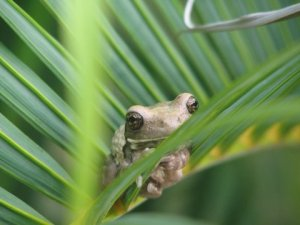 Wide-eyed Tree Frog in Costa Rica