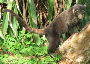 Coati in our garden, Costa Rica