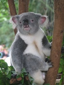 Stereotypical Aussie Koala