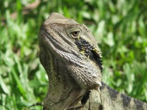 An eastern water dragons posing